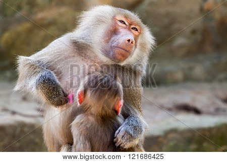 Milk Drinking Ape Child On His Mother