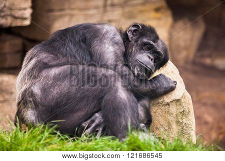 unhappy ape on a stone