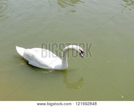 Floating White Swan on the pond of Ramat Gan Park Israel