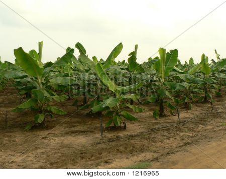 Banana Cultivation