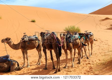 camels are in the dunes, Sahara desert