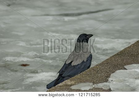 Crow rest on the  frozen  pond in winter