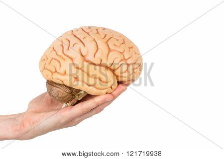 female hand holding model human brains isolated on white background