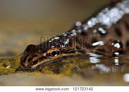 Smooth newt (Lissotriton vulgaris)