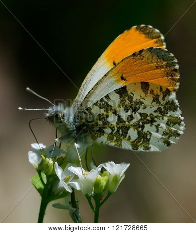 Orangetip on a White Flower