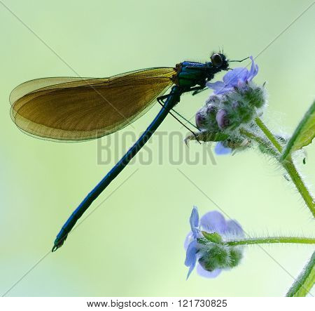 Demoselle Fly On Blue Flies