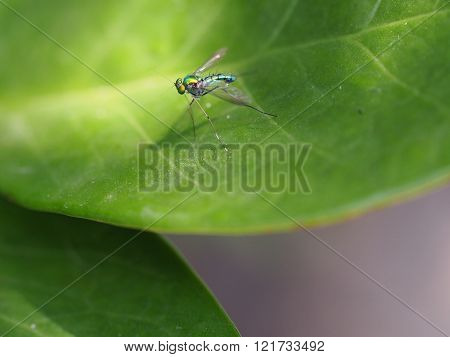 Long-legged Fly On Green Leaf