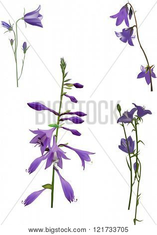 illustration with lilac bellflowers isolated on white background