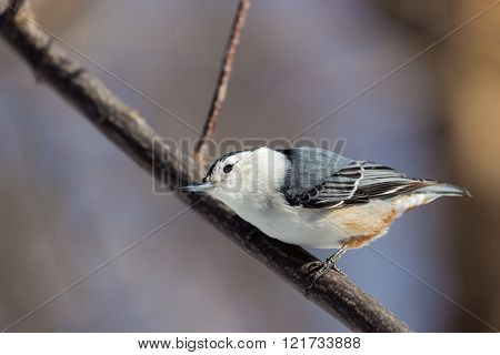 The white-breasted nuthatch is a small songbird of the nuthatch family which breeds in old-growth woodland across much of North America. It is a stocky bird, a large head, short tail, powerful bill poster