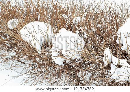Winter concept. Bushes are covered with snow, close up