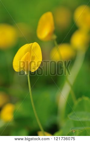 Arachis pinto (Pinto peanut) flower in the morning
