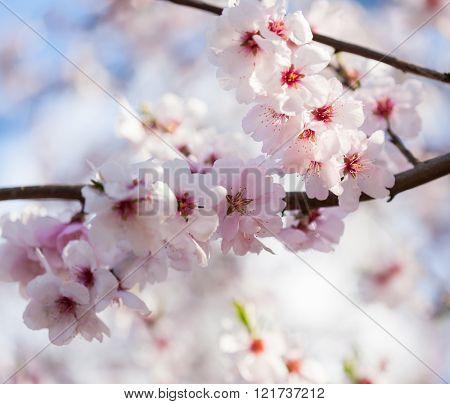 Flowering cherry tree - spring feeling, shallow DOF