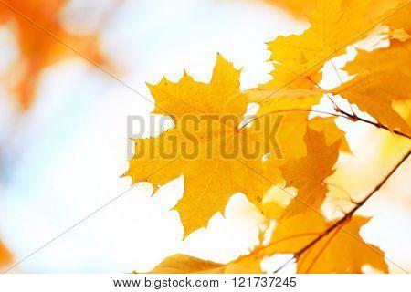 Golden autumn leaves, close up