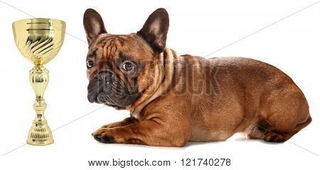 Awarded French Bulldog is lying thoughtful