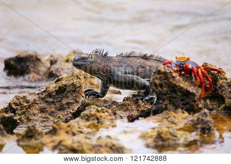 Marine Iguana (Amblyrhynchus cristatus) on Chinese Hat island, Galapagos National Park, Ecuador. Thi