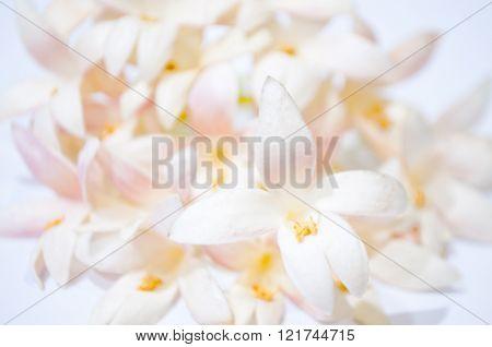 Tree Jasmin Flowers