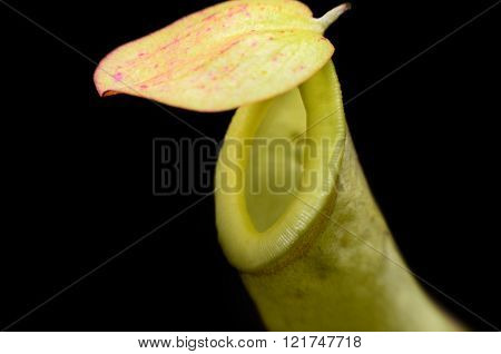 Closeup of tropical pitcher plant on black blackground (Nepenthes)