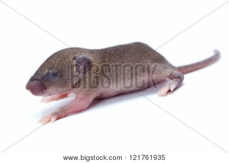 Macro Closeup On Baby House Mouse