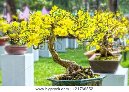 Apricot bonsai tree in spring bloom
