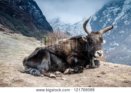 Yak Lying In Mountains.