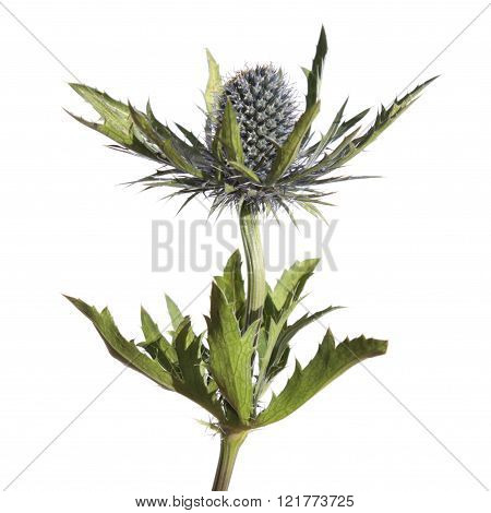 Eryngium (Sea Holly) flower isolated on white