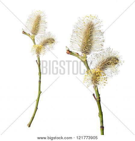 Willow branch with catkin isolated on white