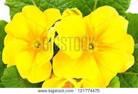 Blossoming Yellow Primrose