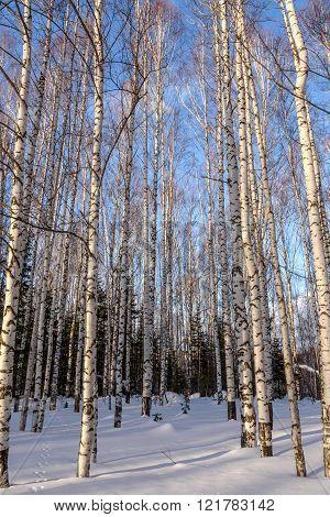 Birch Winter Forest Snow
