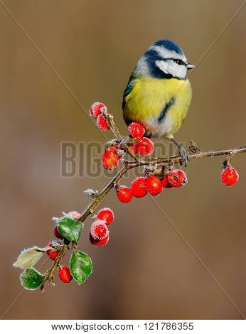 Blue Tit In Frost