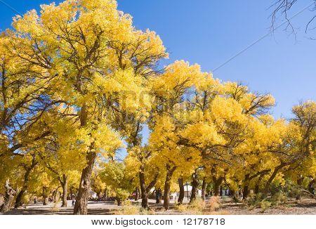 Inner Mongolia, China EJINAQI of Populus euphratica