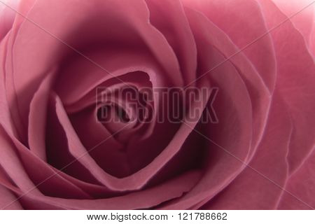 Closeup of red rose flower in a soft light