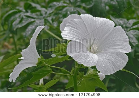 Annual Mallow (lavatera Trimestris)