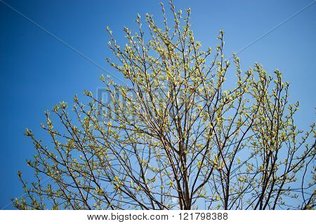sprouting fresh leaves on a twig against blue sky  at spring