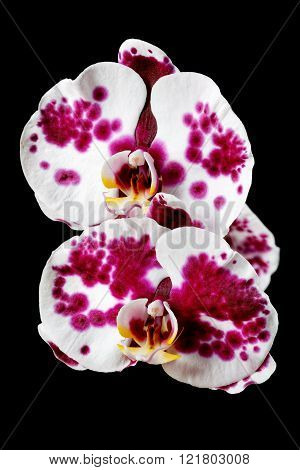 Red And White Orchid On A Black Background