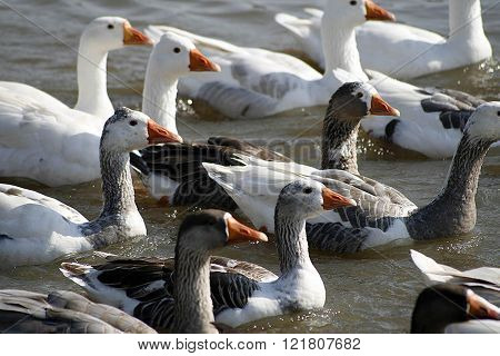 Ducks on a Lake