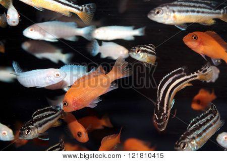 African Cichlids freshwater aquarium fishes. Malawi cichlids