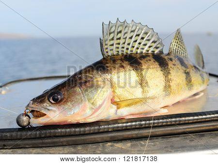Sander volgensis fishing