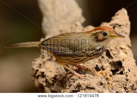 beautiful Puff-throated Babbler (Pellorneum ruficef) in Thai forest