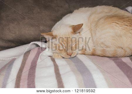 Light Ginger Cat Sleeping