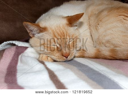 Light Ginger Cat Sleeping On Plaid