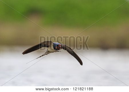 Swallow With Open Wings In Flight Over Water