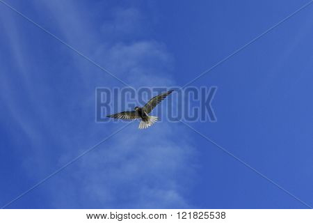 Black Tern In Flight With Open Wings On A Background Of Blue Sky