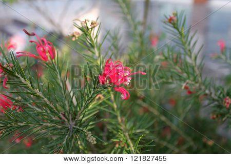 Grevillea banksii treelike shrub, flower of the family Proteaceae