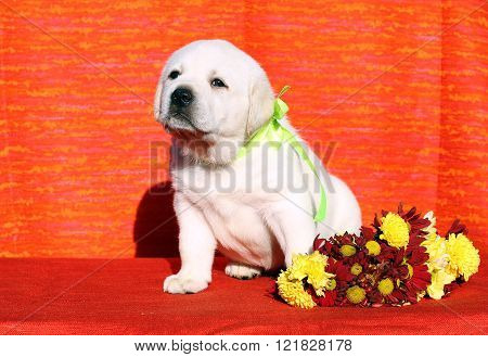 A Labrador Puppy On The Orange Background