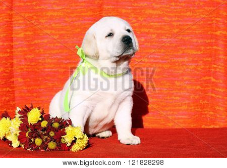 The Labrador Puppy On The Orange Background