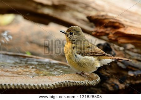 beautiful female hill blue flycatcher (Cyornis banyumas) possing