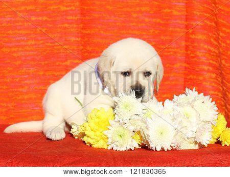 A Nice Labrador Puppy On An Orange Background