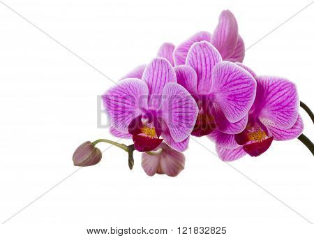 Pink Orchid Flower.