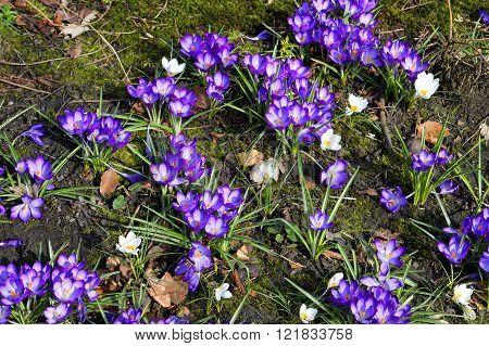 Crocus vernus 'Grand Matre' flowering