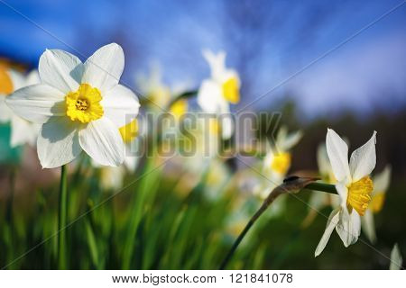 Close-up of bright blooming daffodils on the blurred nature and blue sky background. Flowering narcissus. Spring flowers. Shallow depth of field. Selective focus.